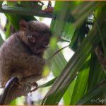 Tarsier Monkeys And Chocolate Mountains_12.jpg