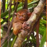 Tarsier Monkeys And Chocolate Mountains_16.jpg